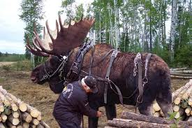 Logging IS NOT for everyone and YES, this IS a moose.