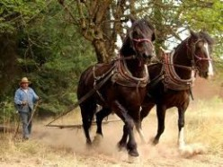 Logging is a job where both man and mules work as hard as the other