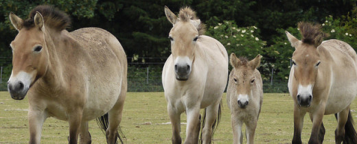 Przewalski's Wild Horses; first animals at The Wilds.