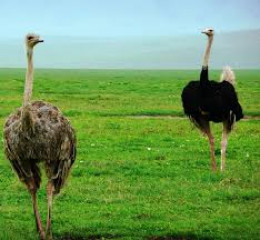 A female and a male Ostrich.