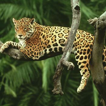 Jaguars easily climb trees