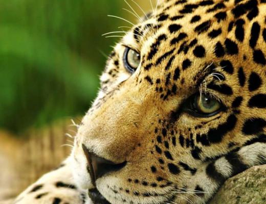 The jaguar faces extinction