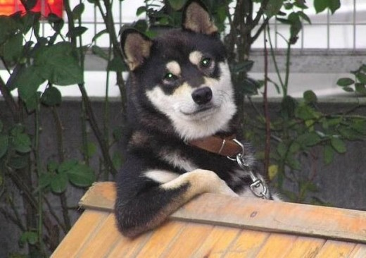 Cool dog says go with the Huskies