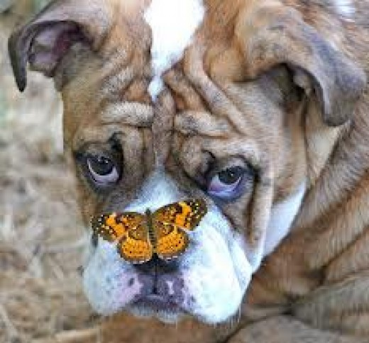 Bulldogs vs Butterflies
