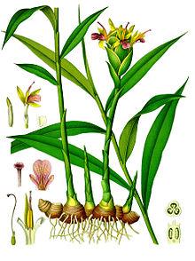 """1896 color plate from Köhler's Medicinal Plants"" direct image identification"
