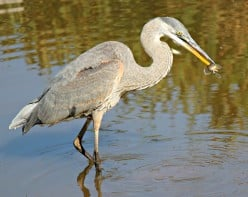 Wading Bird | Great Blue Heron | Green Heron | Black Crowned Night Heron | Great Egret