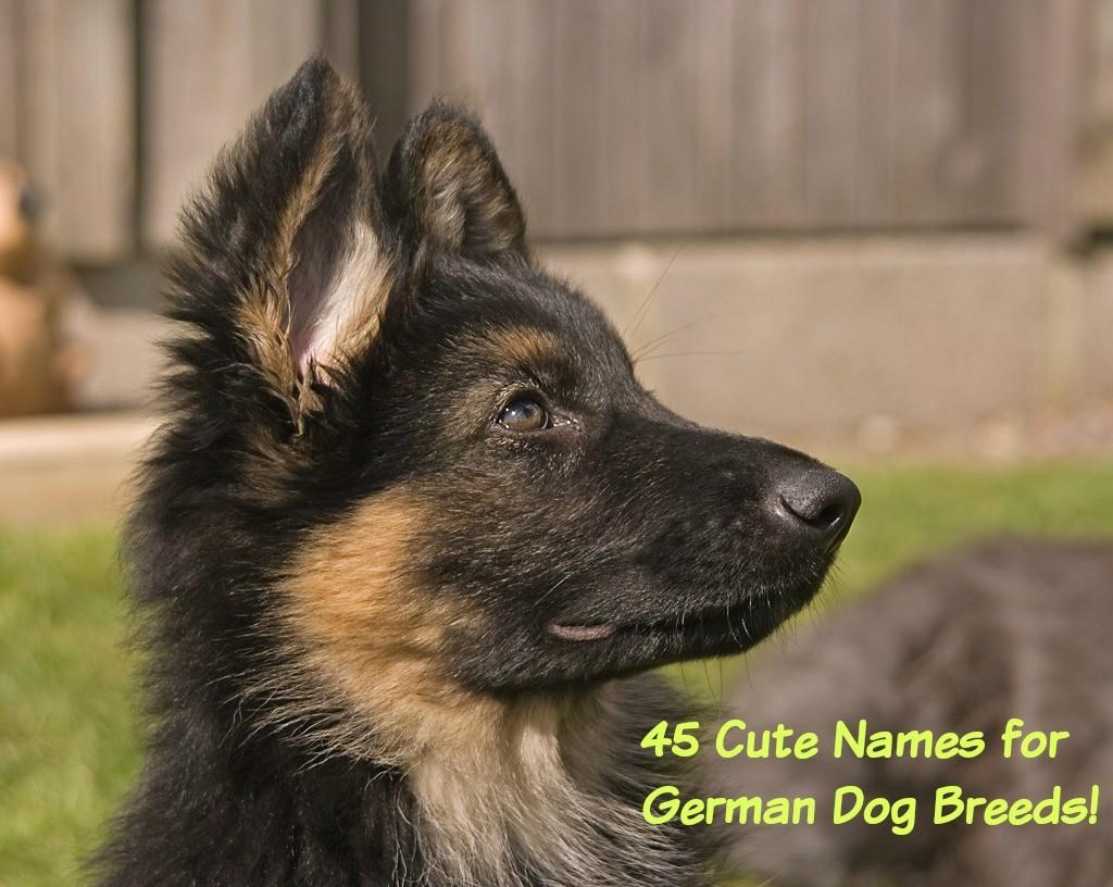 1 Year Male German Shepherd Dog Cross Labrador: 45 Best Dog Names For German Shepherd Puppies