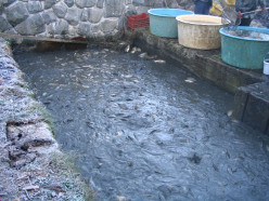 Sustainable Fish Farming - Homestead Aquaculture