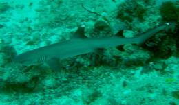 White tipped shark