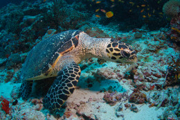 Hawksbil turtle fish
