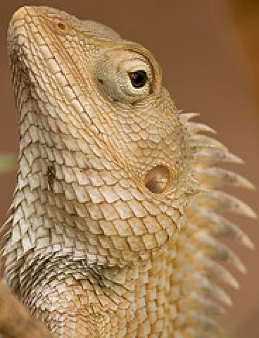 Iguana    Source: Flickr