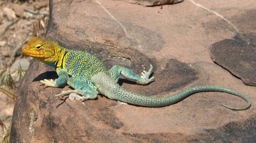Collared Lizard    Source: Flickr