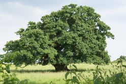 Insects and Oak trees { A study of Trees}-22