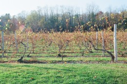 A view of the vines behind the winery.
