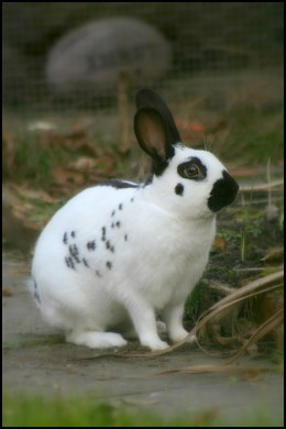 English rabbit