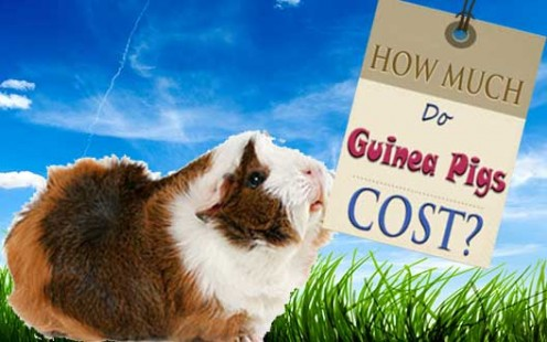 How Much Do Guinea Pigs Cost?