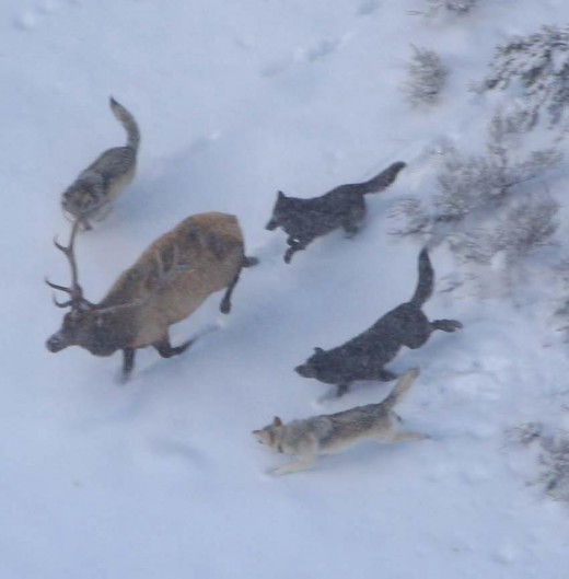 Gray wolves  pursuing an elk.