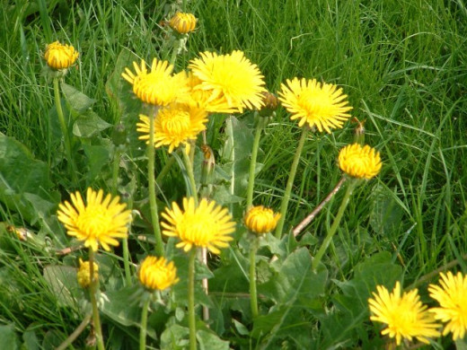 Dandelions are such lovely flowers and their use is widely known