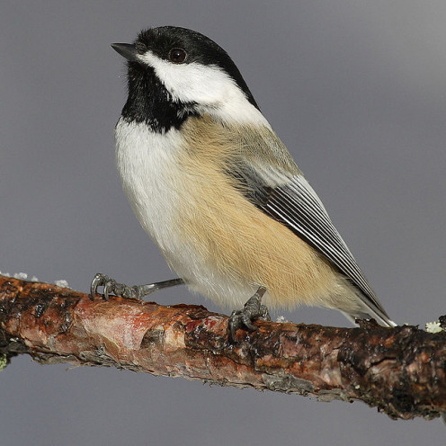 Image of The The black-capped chickadee (Poecile atricapillus) is a small, nonmigratory, North American songbird that lives in deciduous and mixed forests.