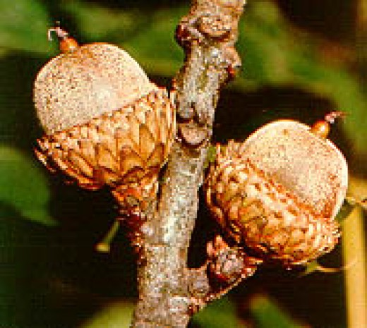 Acorns of the Black Oak