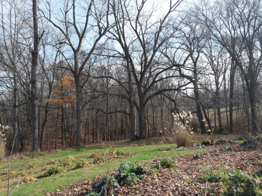One of my all time favorite trees is the black walnut dead center in this picture.  It is hard to tell just how massive this tree is.