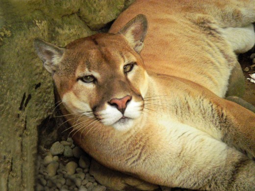 Costa Rican Cougar -- or Puma. (Taken April 8 2010)