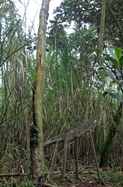 "Known locally as ""The Giraffe Tree"" - Arenal National Park"