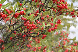 Aronian berries
