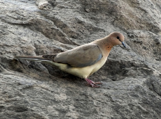 Fauna of Chitrakoot Dham 5 : Small Brown Dove