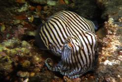 Sepioloidea Lineolata: A Squid on Pyjamas !!