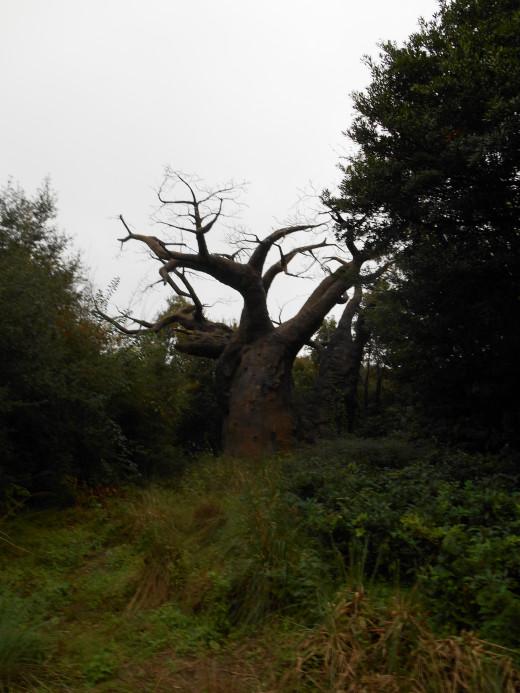 One of Animal Kingdom's baobab trees.