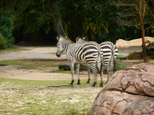 Zebras, Love them!