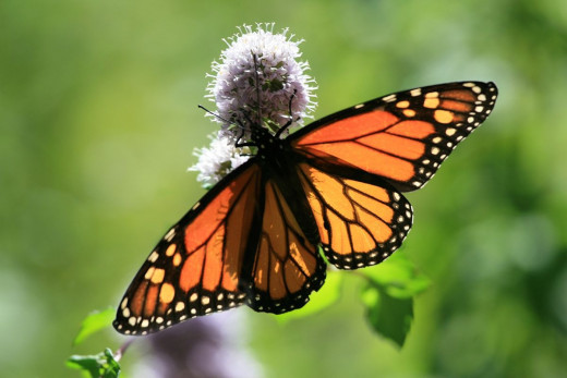 A beautiful monarch butterfly bears her transparent wings letting the wonderful Sunday sunlight flow through.