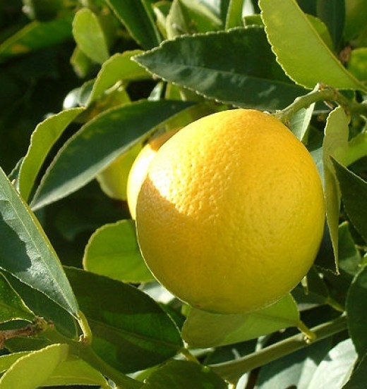 Lemon trees provide a ready source of fresh lemons during the summer months