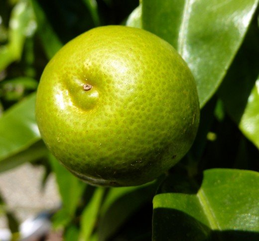 Limes are very versatile for juice and cooking, and their leaves can be used to add vest to Thai food