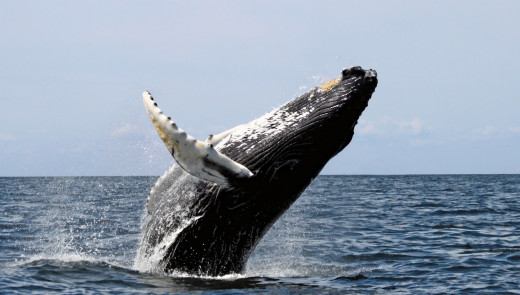 Whale watching is very popular in Sri Lanka