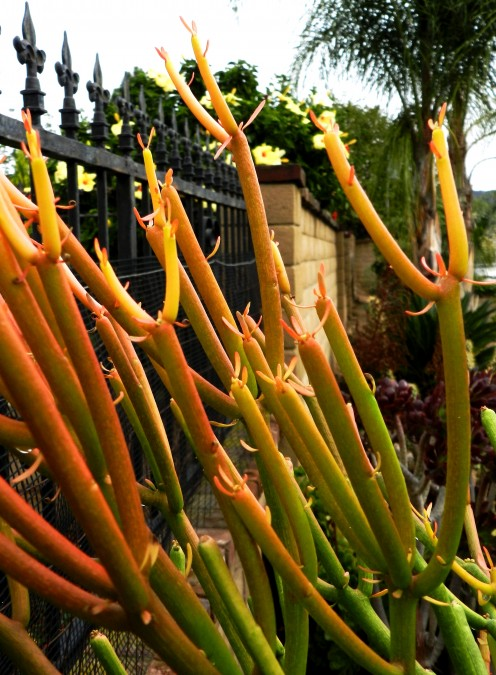 Fire Sticks Succulent Care and Cautions