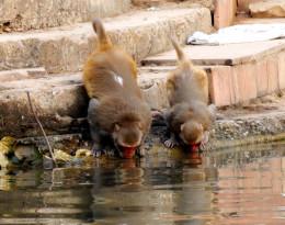 Two thirsty monkeys drinking water from Mandakini