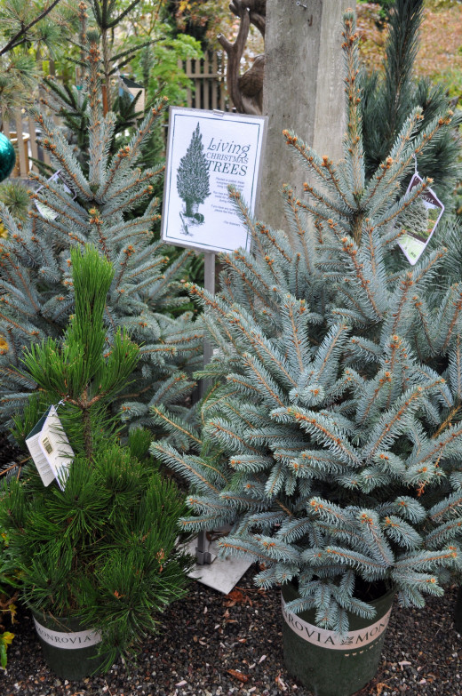 Potted trees can be used for several Christmases if looked after properly.