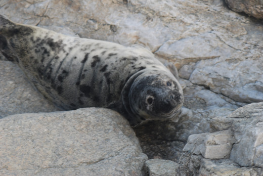 Baby gray seal, about 2 months old, Newport RI