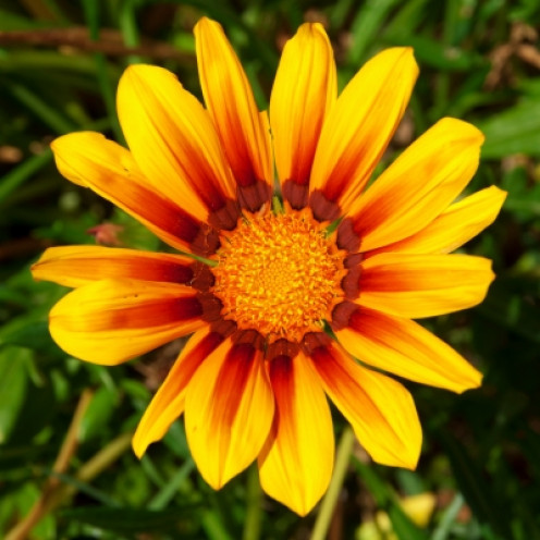 The beautiful Gazania, a real showpiece!