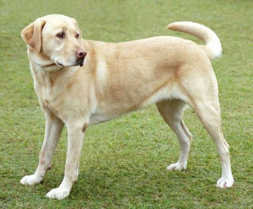 Labradors are a dog breed that do shed a lot, unfortunately.