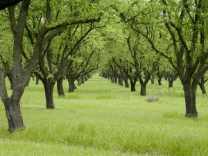 An orchard in the late spring