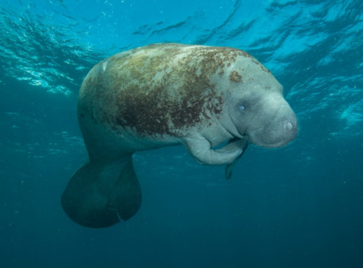 Manatee in South Florida