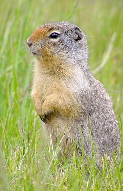 An alert Columbian ground squirrel