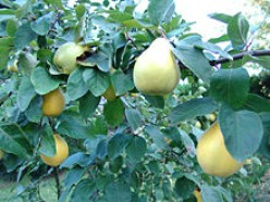 Quinces And The Ways In Which They Can Be A Part Of Our Diet - Fruits In Winter (Part-2)
