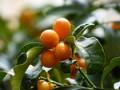 Health Benefits Of Kumquats - Fruits In Winter (Part-1)