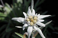 The Many Benefits of Edelweiss