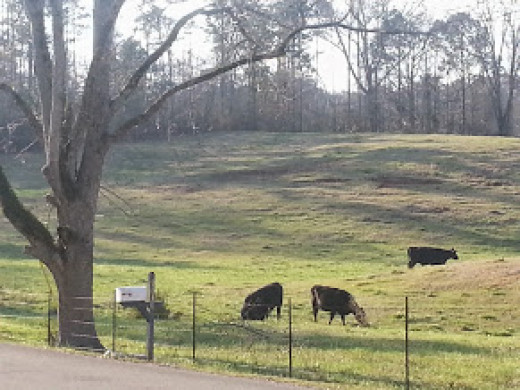 Rolling pasture with cows.