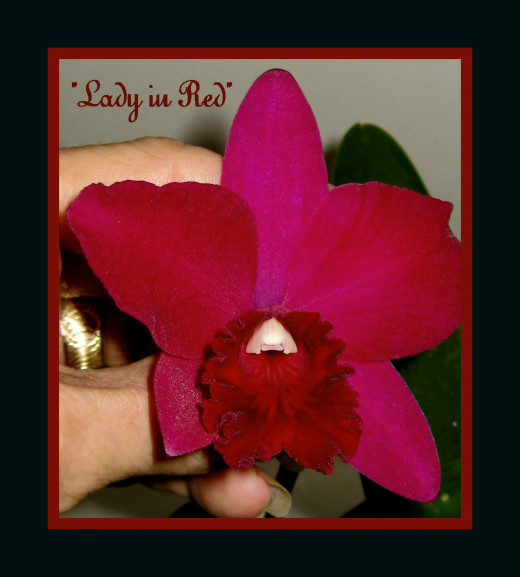 Best of the Red Orchids - it really IS ruby red!